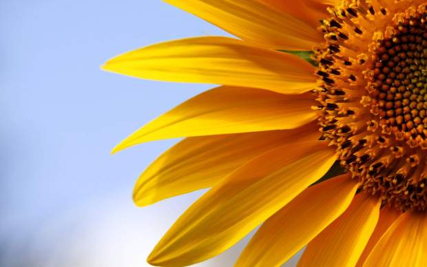 6812591-sunflowers